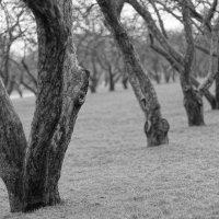 яблоневый сад :: Александр Шурпаков