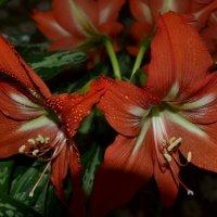 Кливия :: galina tihonova