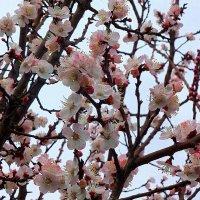 Абрикосы цветут... :: Юрий Владимирович