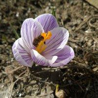 Первый крокус и пчела :: Дмитрий Булда