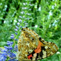 Бабочка Репейница (Vanessa cardui L.) :: Генрих Сидоренко