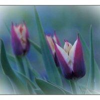 вечерние тюльпаны :: gribushko грибушко Николай