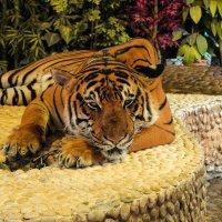 Тигр :: Дмитрий Климов