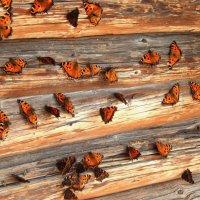 Бабочки многоцветницы . :: Hаталья Беклова