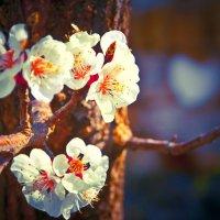 Источник весеннего запаха :: Солнечная Лисичка =Дашка Скугарева