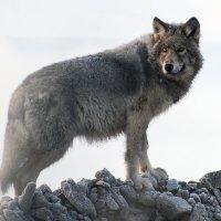 Полярный волк :: Иван Кислов