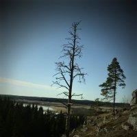 засохшее дерево на скале :: Сергей