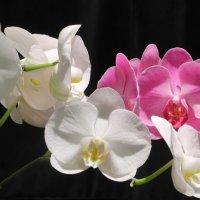 Орхидеи :: Александр Яковлев