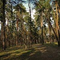 Заход Солнца в сосновом лесу :: Владимир Бровко