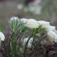 первые цветы :: Дамир Белоколенко