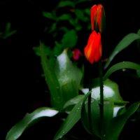 снежный тюльпан :: Евгений