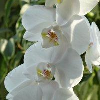 Орхидея :: Елена Ерёменко