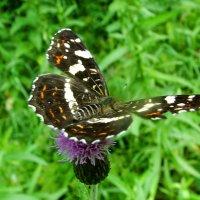 Бабочка Пестрокрыльница (Araschnia levata L.) :: Генрих Сидоренко