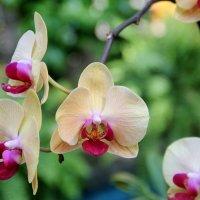 Симфония орхидей. :: Виктория
