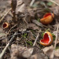 ...грибы...весенний лес... :: Андрей Гр