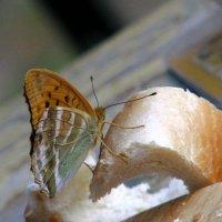 Любопытная бабочка :: Елена S