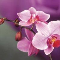 Орхидея :: Алина Троицкая