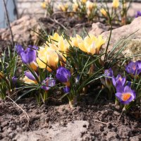 Первоцветы :: Мария Зайцева