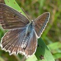 Бабочка Голубянка аргус (Poliommatus argus) :: Генрих Сидоренко