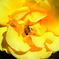 Любопытная пчела :: Юрий Эпштейн