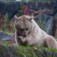 Медведь :: Georg Förderer