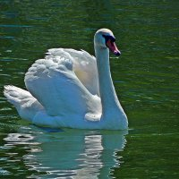 белый лебедь на пруду... :: Александр Корчемный
