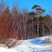 Весна: верба и сосна :: Владимир Шибинский