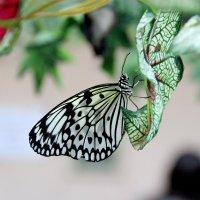 бабочка :: Наталья Василькова