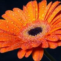 Цветок № 1 :: Светлана Шмелева