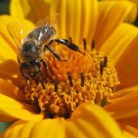 Пчела :: Елена Лапина