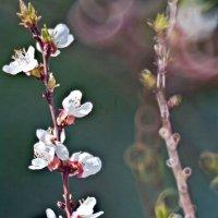 цветы абрикоса :: Валерий Дворников