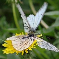 Из жизни бабочек :: Леонид Никитин
