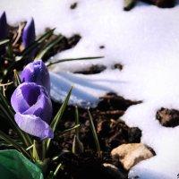Вестники весны :: Anna Stroinova