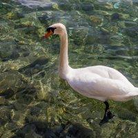 Лебедь :: Witalij Loewin