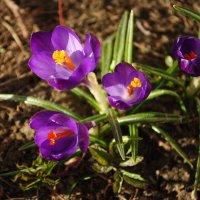 Весенние первоцветы :: Любовь Лунёва