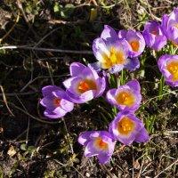 Весенние цветы :: валерия