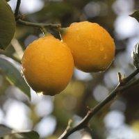 Лимоны :: Тата Казакова