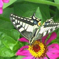 Бабочка :: Лана Бартош
