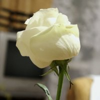 Белая роза - эмблема печали... :: Людмила Жданова