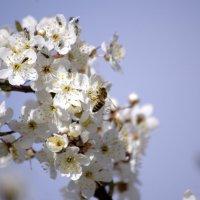 Весна...пчела....соцветие... :: Алексей Климов