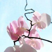 Изящная ветка орхидеи :: Юлия Семашко