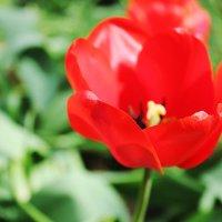 Алый цветочек :: Алёна Колесова