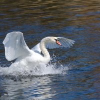 Лебедь :: Екатерина Митрофанова