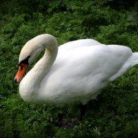Лебедь :: Наталия Короткова