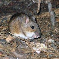 Мышь :: Сергей Карцев