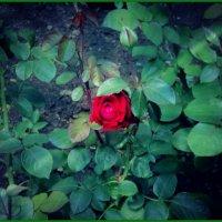 Алая роза упала на грудь Милый мой мальчик меня не забудь :: Ольга Кривых