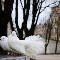 Голуби :: Oksana Pidhurska
