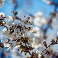 Вишня весной :: Александр Идикеев