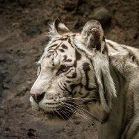 Старая тигрица :: Сергей Басов