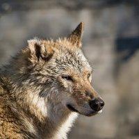 Волк :: Сергей Басов
